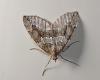 jeneverbesspanner (thera juniperata) 11-2013 7163