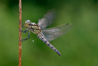 oeverlibel (orthetrum can cellatum) 8-2014 0162